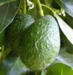 Avocado_tree_4