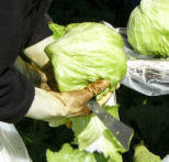 Salinas_lettuce_harvest_1_5