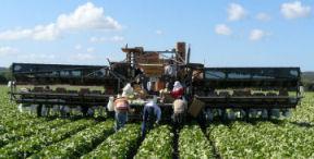 Salinas_lettuce_harvest_4