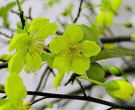 Hoa_mai_blossoms_2