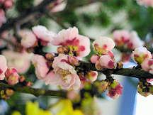 Peach_blossom_3